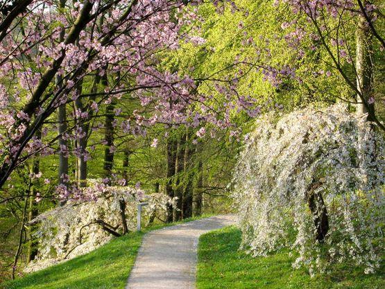 Kirschblüte auf der Luisenhöhe